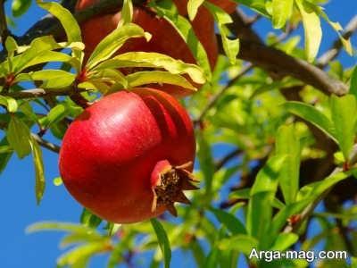 علت شکوفه ندادن درخت انار