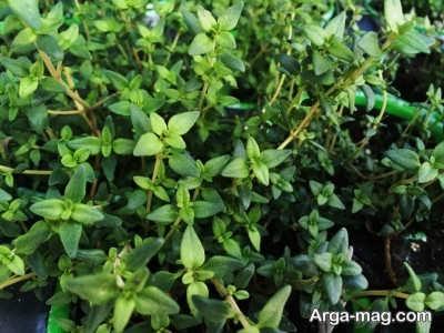 فواید های درمان گیاه چوچاق