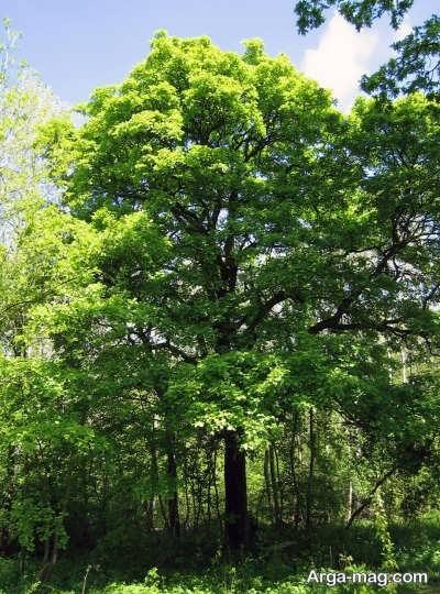 شرایط مورد نیاز برای کشت درخت بارانک