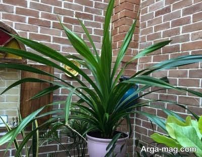 شرایط لازم برای مراقبت از گیاه سنگاپوری