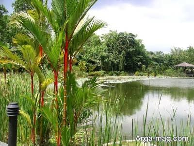 اصول کاشت گیاه سنگاپوری