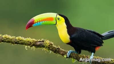 خصوصیات پرنده توکان