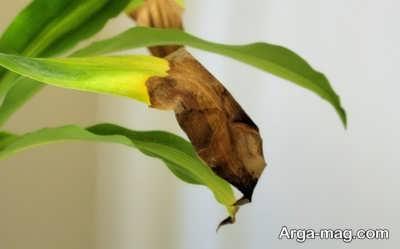 بیماری های رایج در گیاه برگ ذرتی