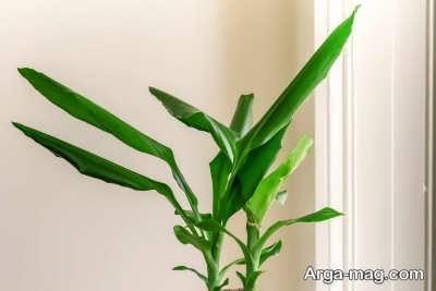 دستورالعمل کاشت گیاه برگ ذرتی