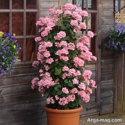 چگونگی تعویض گلدان گیاه شمعدانی