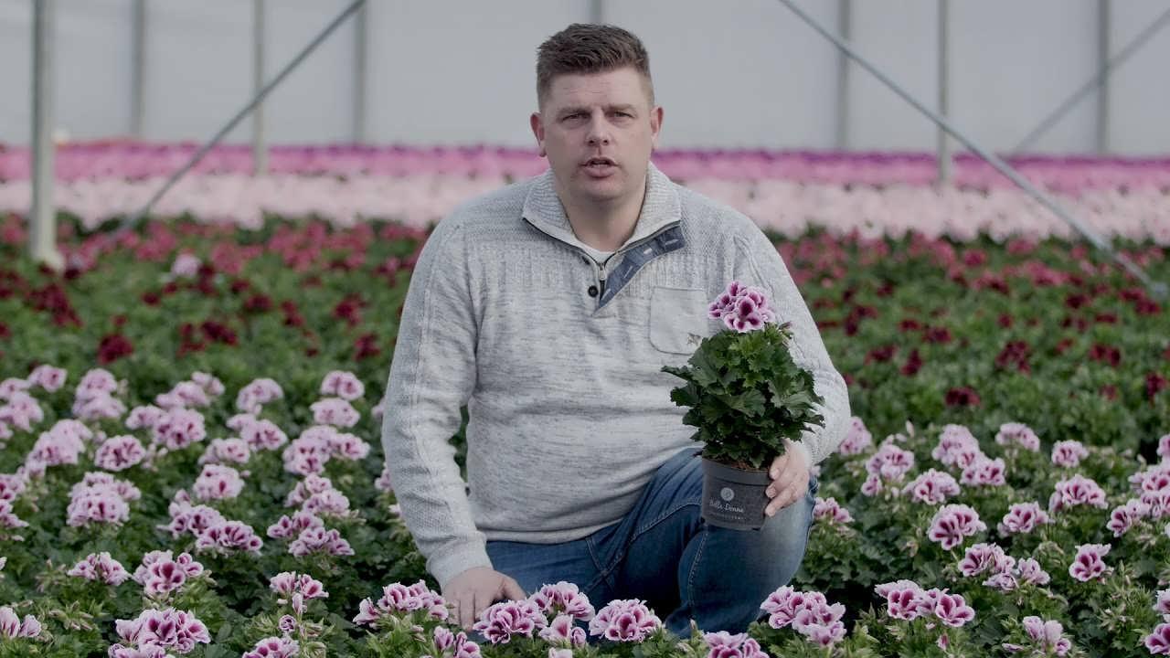 آشنایی با پرورش گل شمعدانی هلندی