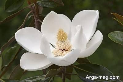 چگونگی پرورش درخت ماگنولیا
