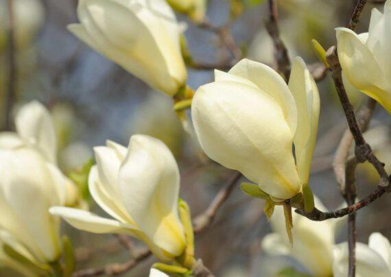 آشنایی با نحوه پرورش درخت ماگنولیا