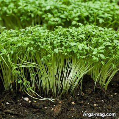 خصوصیات بارز سبزی شاهی