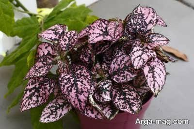 آشنایی با نحوه پرورش گل خال صورتی ( گیاه هیپوستس)