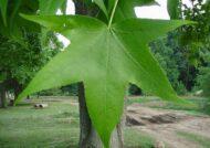 آشنایی با خصوصیات درختچه عنبر سائل