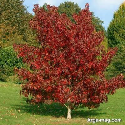 چگونگی کاشت درخت عنبر سائل