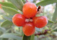 آشنایی با نحوه نگهداری از گل آردیسیا