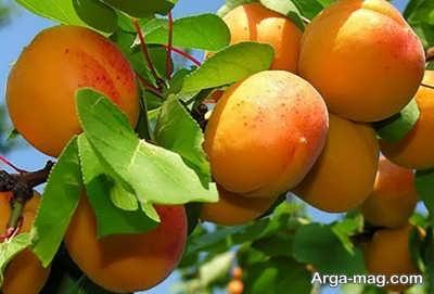 میوه های مجاز در دوره شیردهی