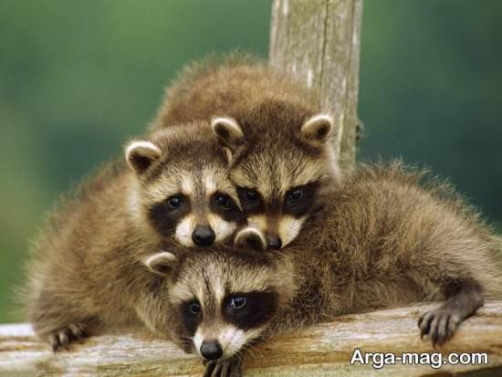 تصویر زیبا از راکون و بچه هایش