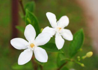 آشنایی با انواع گل یاس