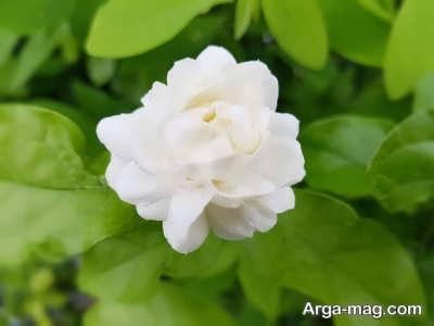 خصوصیات انواع گل یاس