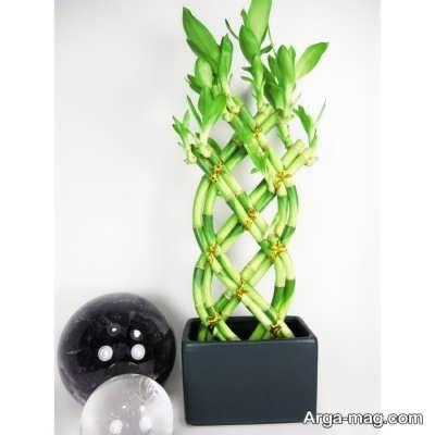 دستوراالعمل تکثیر گیاه بامبو