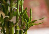اصول پرورش لاکی بامبو