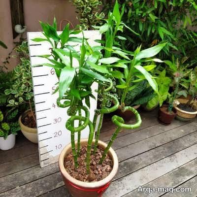 دستورالعمل کاشت گیاه بامبو