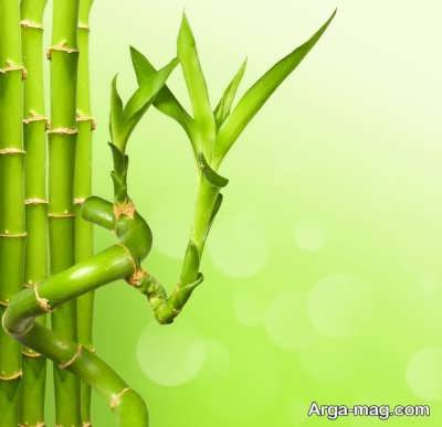 چگونگی پرورش لاکی بامبو