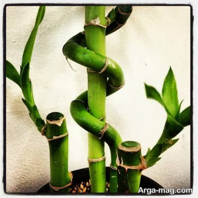 اصول مراقبت از لاکی بامبو