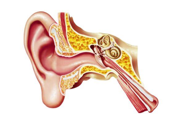 آشنایی با آناتومی گوش انسان