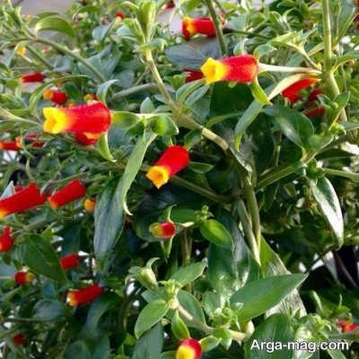 چگونگی مراقبت از گیاه آبنباتی