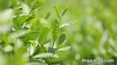 شرایط لازم برای نگهداری از گل عطر چای