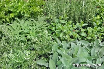 نور مورد نیاز برای گیاه عطر چای