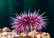 آشنایی با جانور توتیای دریایی