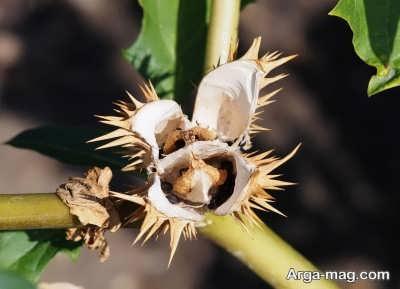 انواع خاصیت های گیاه سمی تاتوره