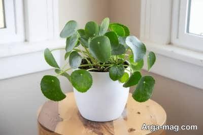 چگونگی پرورش گیاه پول چینی