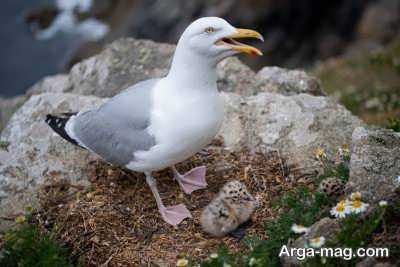 آشنایی با گونه های مختلف مرغ دریایی