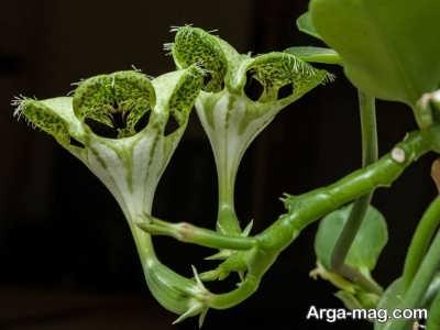دستورالعمل کاشت گیاه سروپژیا