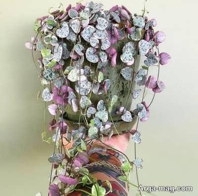 چگونگی پرورش گیاه سروپژیا