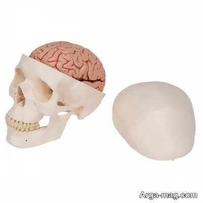 خصوصیات و آناتومی جمجمه انسان