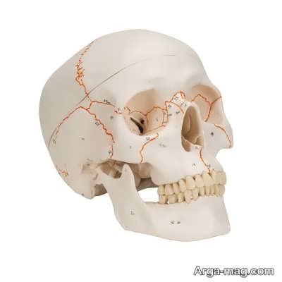 استخوان های موجود در جمجمه