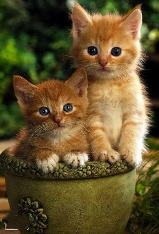 تصویر گربه پشمالو برای پروفایل