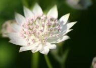 آشنایی با نحوه نگهداری از گل آسترانتیا