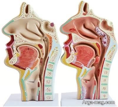 ویژگی ها و آناتومی بینی