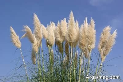اصول پرورش گیاه پامپاس