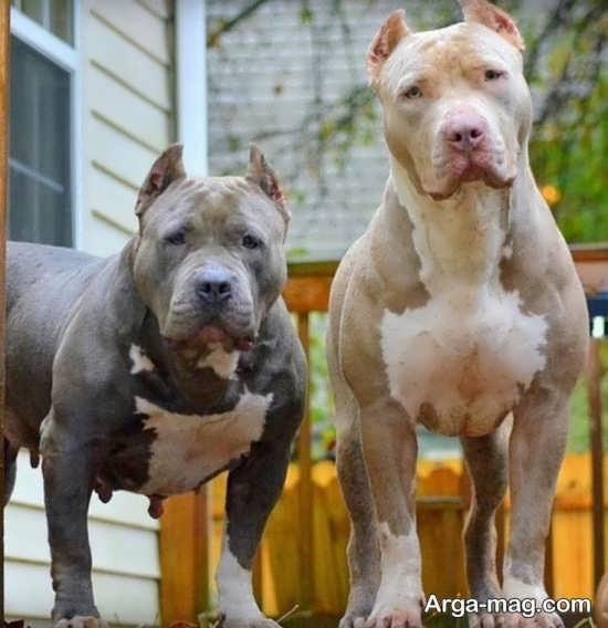 عکس سگ پیت بول آمریکایی