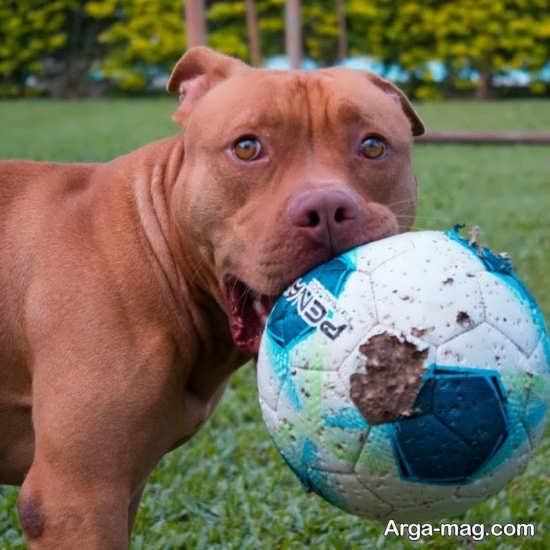 عکس باحال و بامزه از سگ پیت بول