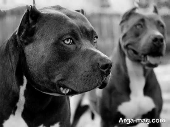 انواع دیدنی عکس سگ پیت بول