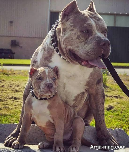 انواع جالب عکس سگ پیت بول
