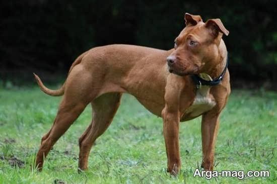 عکس های جدید از سگ پیت بول