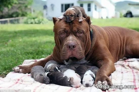 عکس سگ پیت بول با توله هایش