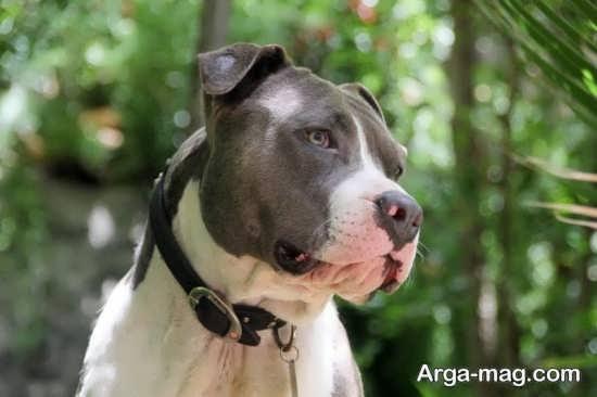 انواع تصاویر جذاب سگ پیت بول