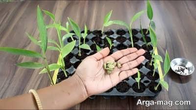 چگونگی کاشت هل در گلدان